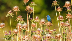 Indigo Bunting (Bob Gunderson) Tags: birds brionesregionalpark buntings california contracostacounty eastbay indigobunting northerncalifornia passerinacyanea