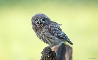 Little Owl - Steenuil - Athene noctua -1800