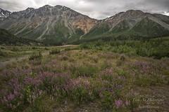 Richardson Highway - Alaska Mountain Range (Freshairphotography) Tags: richardsonhighway alaskamountainrange alaska springflowers springflower wildflowers colorful flowers mountains naturesart