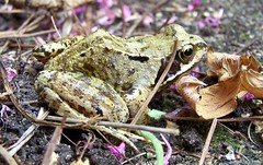 Friday Frog (ERIK THE CAT Struggling to keep up) Tags: frogs amphibians garden stafford ranatemporariatemporaria ngc npc
