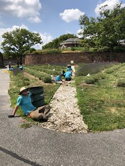 FGI horticulture team weeds the oyster shell paths 7.18