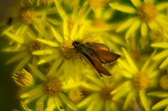 Skipper butterfly, ragwort flowers (Dave_A_2007) Tags: hesperiidae butterfly flower insect nature plant ragwort skipperbutterfly wildlife wolverhampton westmidlands england