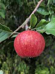 Only one apple on the tree this year :( (Elouise2009) Tags: apple july2018