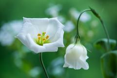 lisianthus 1149 (junjiaoyama) Tags: japan flower lisianthus plant summer white bokeh macro