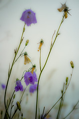 06263C68-033D-40F2-A135-A64365851656 (tonguedevil) Tags: landscape outdoor field meadow flora flower light harebells