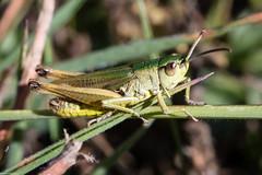 Meadow Grasshopper (PedroLanders) Tags: berealston devon insect grasshopper