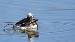 Long-tailed Duck ♂ - Harelde kakawi ♂ - Clangula hyemalis (D72_3001-1PE-20180507) (Michel Sansfacon) Tags: hareldekakawi longtailedduck clangulahyemalis nikond7200 sigma150600mmsports sigmatc1401