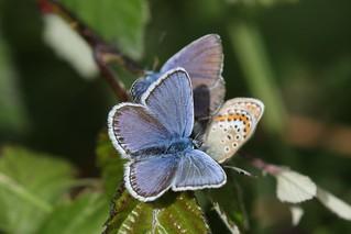 Silver-studded Blue [Swarm]