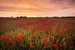 Sea of Poppies (Tris1972 (tmorphewimages.co.uk)) Tags: cambridge june summer poppyfield poppies flowers field morning early sunrise dawn red cornfield clouds daybreak sun orange warm wideangle beauty beautiful calm serene canon5diii canon24mmf14liiusm eastanglia sky yellow