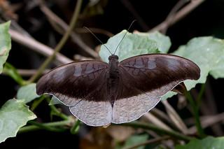 Cynitia cocytus - the Lavender Count (male)