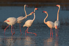 flamingos (leonardo manetti) Tags: uccello bird nature red winter colours naturephotography field natural nikkor countryside green morning black stonechat albero animale fenicottero flamingo sunset lake water nikon d850 acqua erba