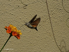 I did it! (lrodigu) Tags: hummingbird colibrí hawkmoths esfingecolibrí smileonsaturday uniflora 7dwf