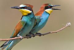 Bee-eaters (MoGoutz) Tags: birds scholari beeeaters merops apiaster μελισσοφάγοι σχολάρι nikon d500