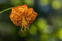 Leopard lily (Lilium pardalinum pardalinum) (Spencer Dybdahl Riffle) Tags: wildflower trinity trintycounty california pnw pacificnorthwest lily lilium calflora cnps leopard paradlinum leopardlily liliumparadlinumparadlinum liliaceae
