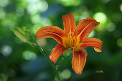 today's your day (Judecat (easing into summer)) Tags: mygarden nature flower daylily