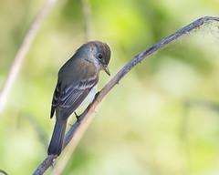 Willow Flycatcher (Brian Rockwell) Tags: willowflycatcher tualatinrivernationalwildlliferefuge chickencreek tualatin oregon usa willow flycatcher