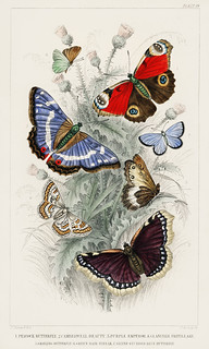 Peacock Butterfly, Camberwall Beauty, Purple Emperor, Glanville Fritillary, Grayling Butterfly, Green Hair Streak, and Silver Studded Blue Butterfly from A history of the earth and animated nature (1820) by Oliver Goldsmith (1730-1774). Digitally enhanced