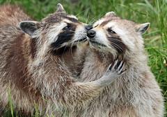 Raccoon Blijdorp JN6A8994 (j.a.kok) Tags: raccoon wasbeer animal blijdorp predator amerika america mammal zoogdier dier