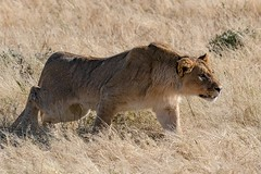 Young Lion (gecko47) Tags: animal mammal bigcat lion pantheraleo male young etoshanationalpark namibia hunting grassland waterhole game