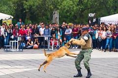 Al ataque (juliotrestel) Tags: perro espe canes militar ataque fuerza
