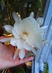 Selenicereus Grandiflorus (Shido_Gamilton) Tags: flowers cactus selenicereus flower