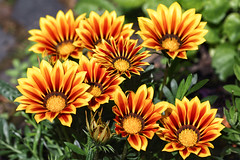 Happy Midsummer ! (AnyMotion) Tags: beginningofsummer sommeranfang midsummer summersolstice sommersonnenwende gazania mittagsgold mittagsblume gazaniarigens blossom blüte 2018 plants pflanzen anymotion nature natur blumen floral flowers frankfurt 7d2 canoneos7dmarkii garden garten colours colors farben yellow gelb red rot summer sommer été verano zomer estate ngc npc