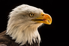 Speaking in tongues (jeff.white18) Tags: baldeagle portrait birdofprey raptor nature profile nikon feathers beak eye flickr