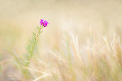 Standing Tall (Kim Nordby Photography) Tags: flower purple lawn macro strength courage determination