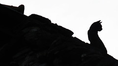 Micio - Gordola - Ticino - Svizzera (Felina Photography - www.mountainphotography.eu) Tags: cat micio gatto poes kat katze silhouette animal roof dach dak tetto ticino gordola tessin feline felina foto photography