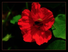 Nasturtium (ronramstew) Tags: birchmoor flower bloom plant nasturtium garden liverpool stmichaels macro merseyside olympus60mmf28