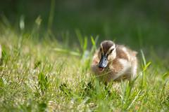 IMG_1805-2 (d_propp) Tags: lake beaumaris mallard duck