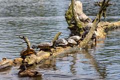 Schildkröten (Mikvede) Tags: turtle schildkröte sommer teich baumstamm sunbathing