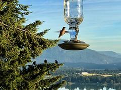 Blue hour birds (dstrong2071) Tags: trees fir feeder glass ravens hummingbird anna's