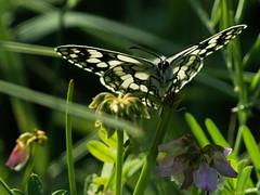 Demi-deuil au soleil (JMVerco) Tags: papillon butterfly farfalla macro coth coth5