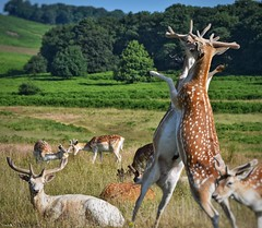 Propped up on their hind legs, these two were 'play' fighting, I think! (Nina_Ali) Tags: 7dwf deer deerfight bradgatepark newtownlinford leicestershire wildlife nina ali ninaali