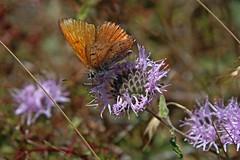 IMG_4452 (edward_rooks) Tags: sierraazulopenspacepreserve bald mountain mount umunhum insects wildflowers butterflies bees wasps assassin bug