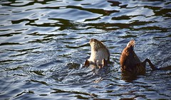 Jumeaux affamés (Jean-Pierre Bérubé) Tags: jeanpierrebérubé jpdu12 canardcolvert canard flickrfriday twins jumeaux lac eau lake nikon d5300 plongeon
