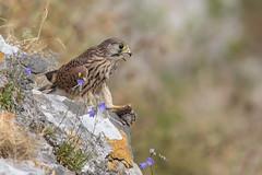 Kestrel (cliveyjones) Tags: kestrel falcon