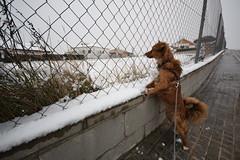 Laika jugant amb la neu (Hachimaki123) Tags: animal laika dog perro neu nieve snow