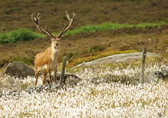 red deer stag peak district in cotton grass 7 july 2018 (3) (Simon Dell Photography) Tags: nature wildlife animal majestic stag red derr peak district fox house longshaw estate derbyshire uk england english countryside simon dell photography 2018 july summer cotton grass meadow moorland moor close up detail