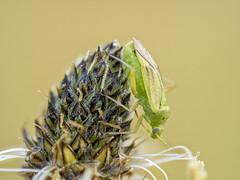 2018-06-30 08-37-01 (C) (turbok) Tags: insekten tiere wanzen c kurt krimberger