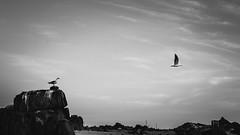Te sigo (estebanolivaresmuñiz) Tags: blackandwhite nikon aves ave sky cielo black white birds bird blackbird wings seagull gaviota old nature bnw