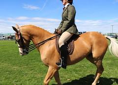 Riding Horse (Elrenia_Greenleaf) Tags: chestnut ridinghorse ridinghorseclass royalhighlandshow rhs rhs2018 royalhighlandshow2018 equestrian horsephotography horseshow ponies