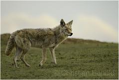 coyote (Christian Hunold) Tags: coyote wilddog mammal kojote northdakota christianhunold badlands
