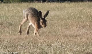 Brown Hare/Lepus europaeus
