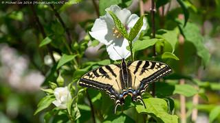 Western Tiger Swallowtail (20180629-DSC00080)