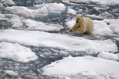 Leap! (pdxsafariguy) Tags: wildlife svalbard arctic ice nature cold bear water sea polarbear climate iceberg environment jumping