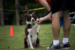 IMG_9124[1] (candice.aurora) Tags: dog dogsport discdog gsd bitesport bitework malinois australianshepherd bordercollie