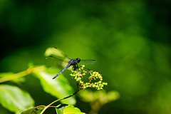 dragon berry (avflinsch) Tags: ifttt 500px wing macro dragonfly insect damselfly bug water summer dark blue black fly hunter dragon