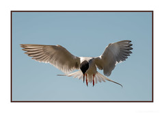 The Hovering Hunter (JohnKuriyan) Tags: california commontern donedwardswildliferefuge